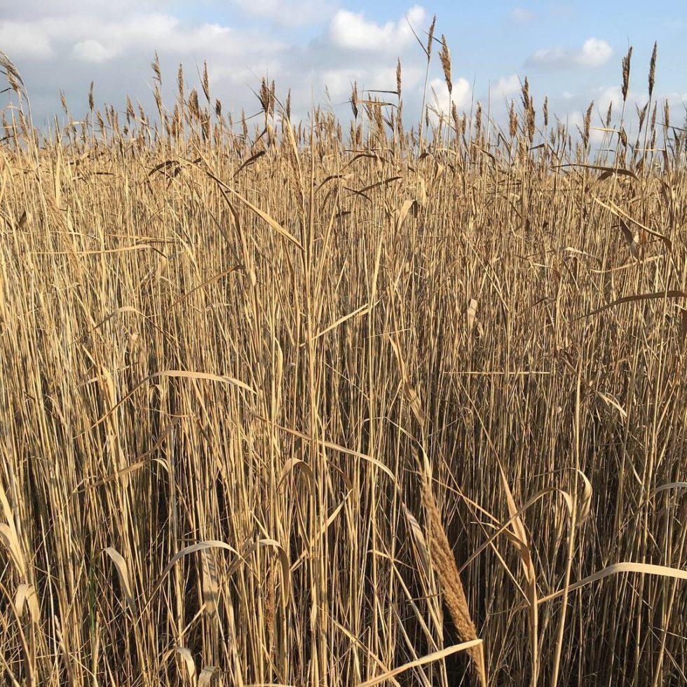 Snape reeds